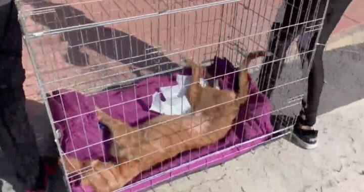 Cane paralizzato salvato: dopo una settimana lascia i veterinari senza parole