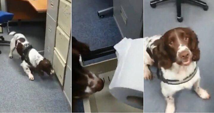 Cane poliziotto fiuta la carta igienica