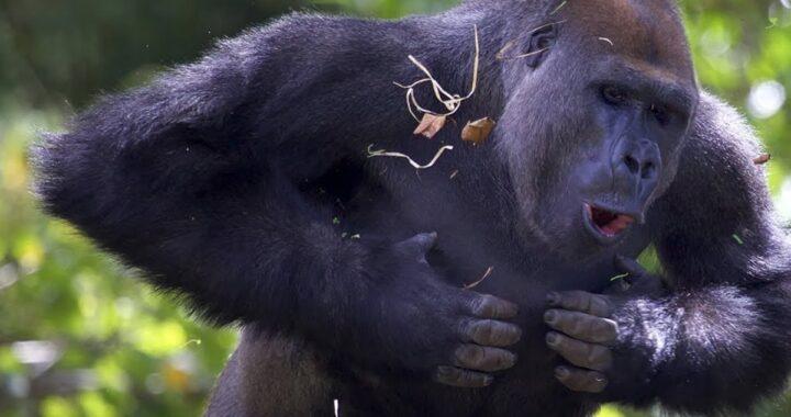 Perché i gorilla battono i pugni sul petto