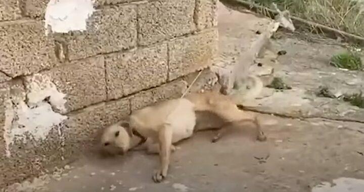 Volontario trova una cagnolina legata ad un muro e decide di intervenire: ecco cosa ha fatto la cucciola quando ha capito di essere finalmente libera
