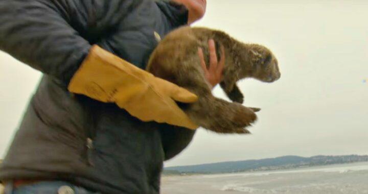 Il salvataggio della piccola lontra