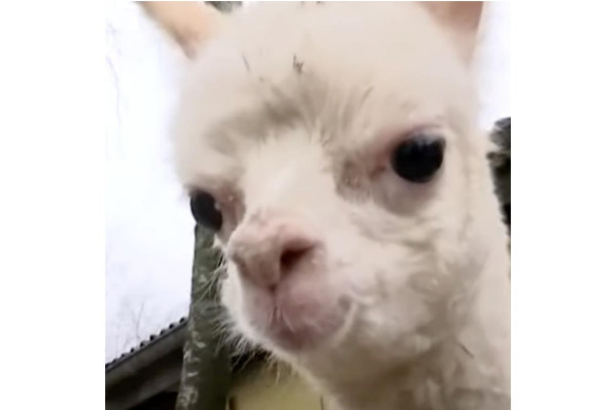Marie, la cucciola di Alpaca orfana e disabile