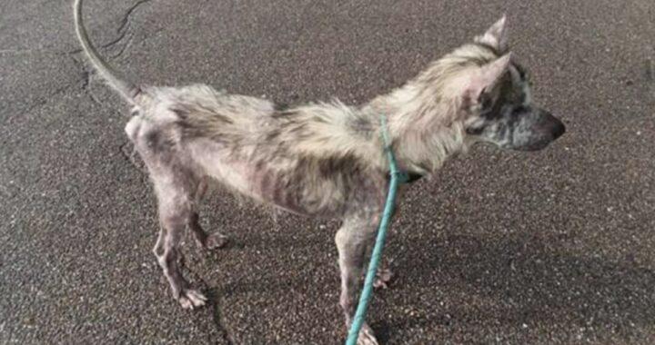La storia del cane Odino, sfruttato e ridotto in condizioni drastiche