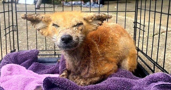 Volontari trovano una volpe in gravi condizioni: oggi è di nuovo libera e felice