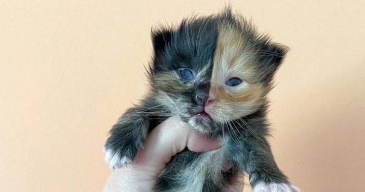 Apricot il gatto chimera: il suo dolce musetto fa il giro del web