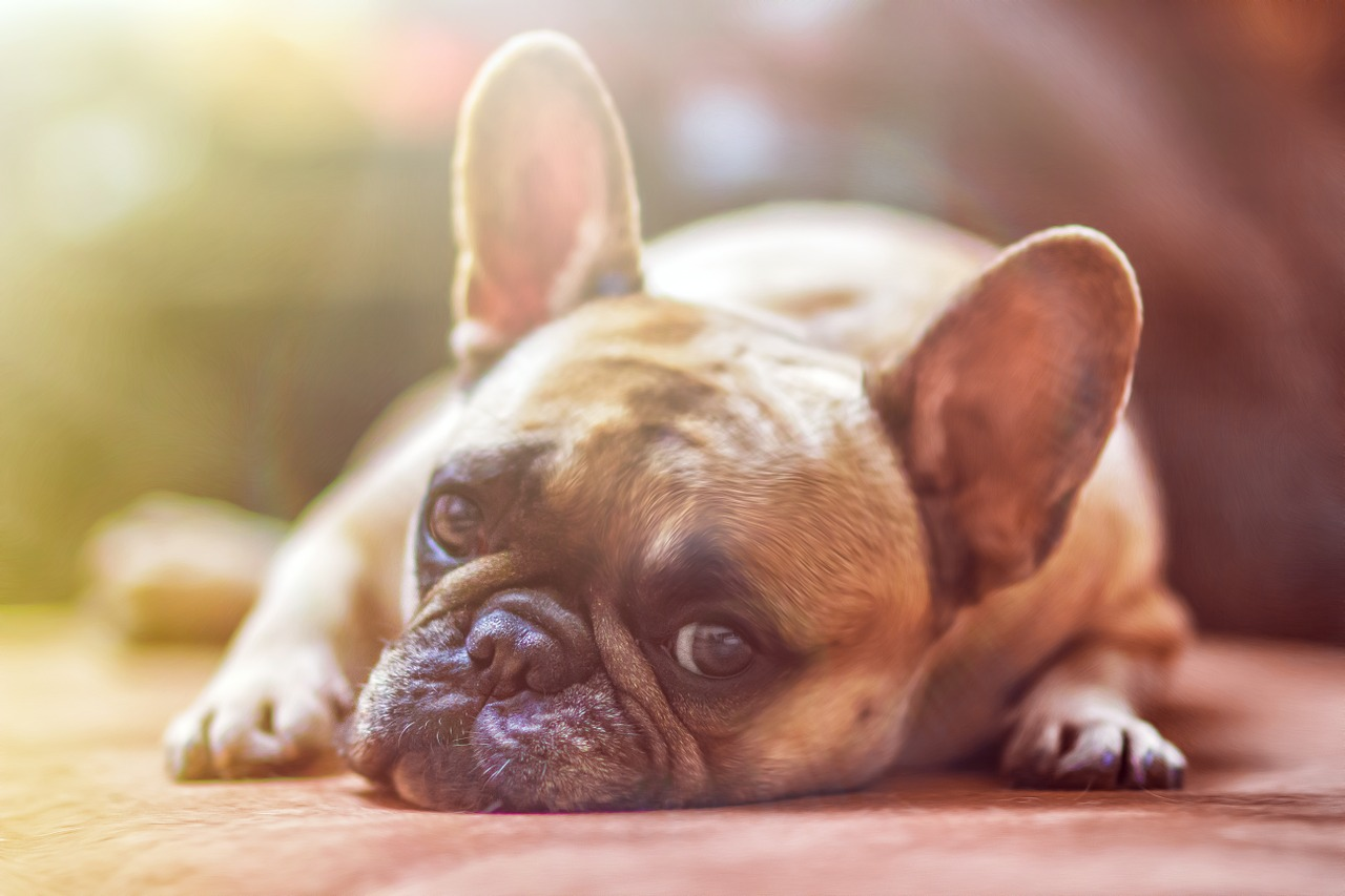 Bulldog privi di sensi