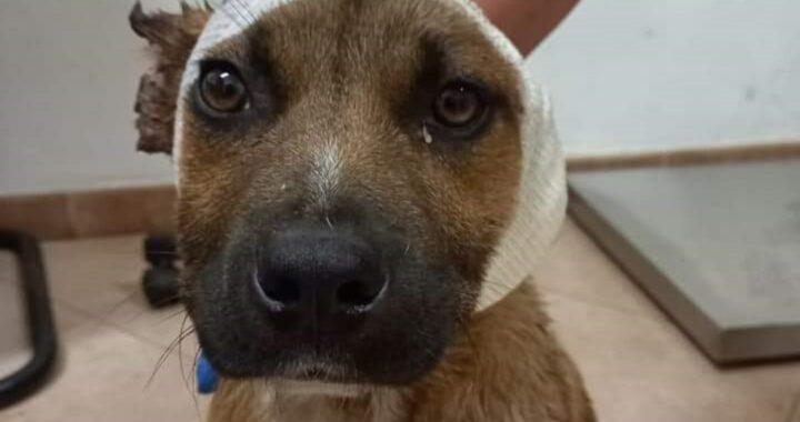 """""""Così il cane sembrava più bello"""", la giustificazione dei bambini che hanno tagliato le orecchie al cane Leone"""
