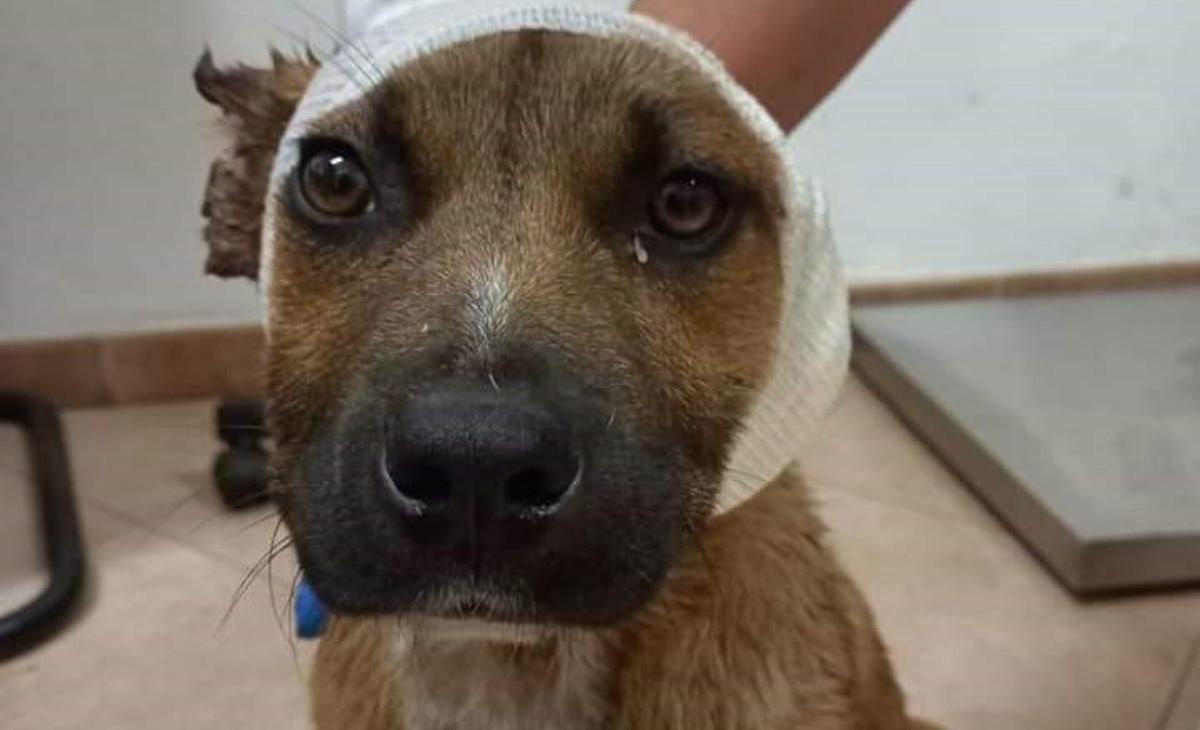 Le condizioni del cane Leone