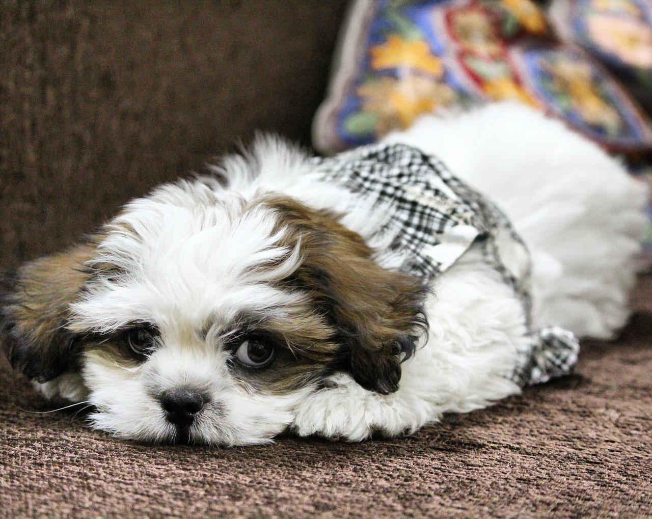 Cane di razza Lhasa Apso