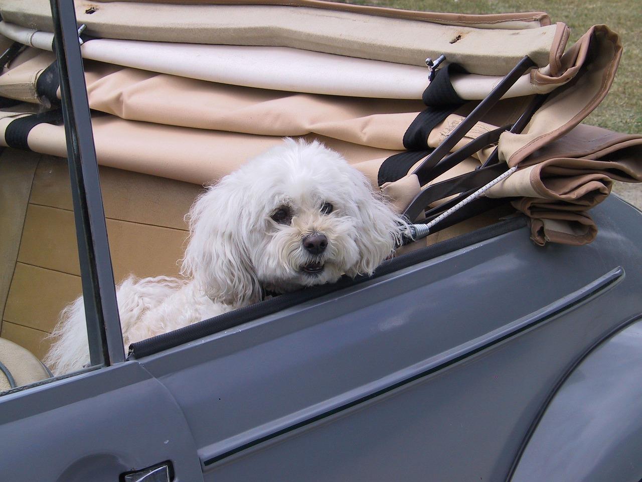 Cucciolo guida la Mercedes
