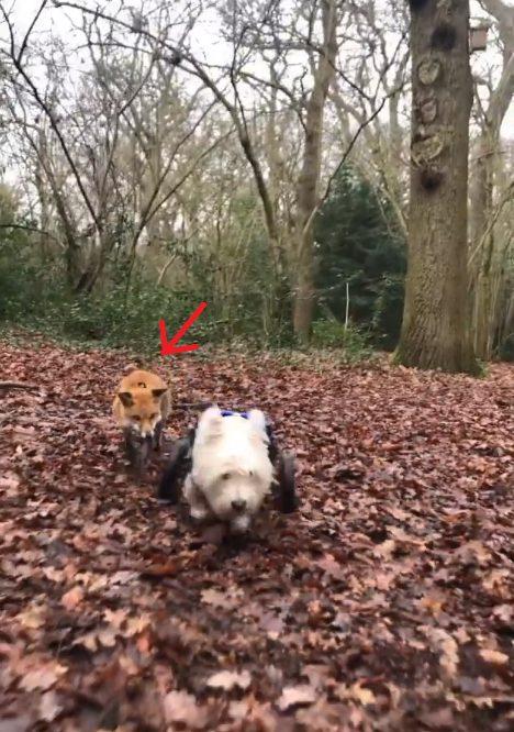 La volpe di nome Pumpkin e il cane di nome Jack