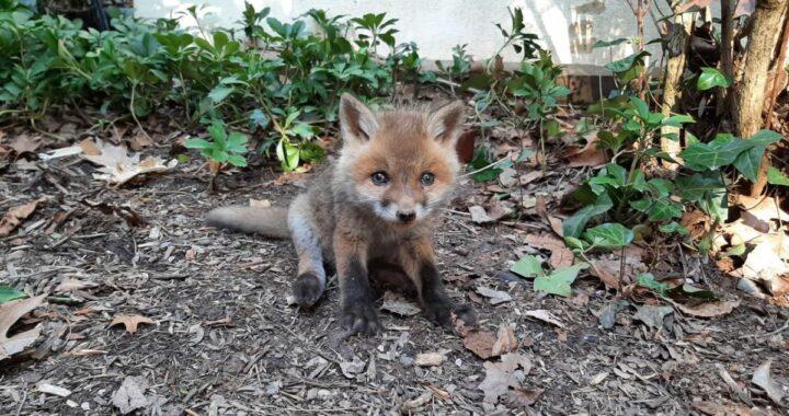 Ragazzi trovato un cucciolo di volpe nel giardino di un'abitazione e poco dopo scoprono tutto ciò che aveva vissuto