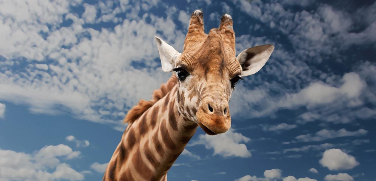 Giraffa chiede aiuto