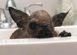 animale sembra un piccolo pipistrello