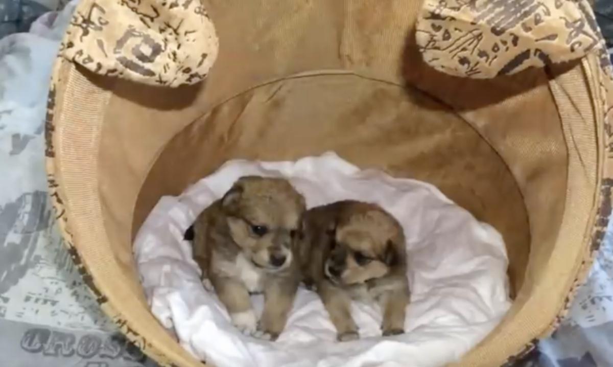 Due cuccioli abbandonati in una scatola