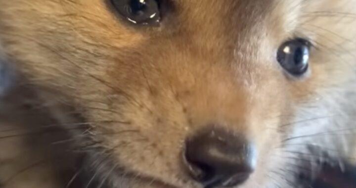 Butter, la volpe orfana che trova conforto in un nuovo amico