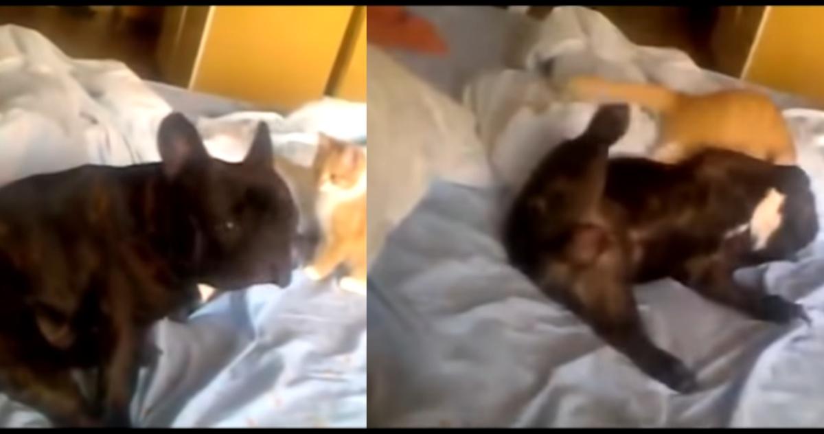 Gatto attacca il cane: il video