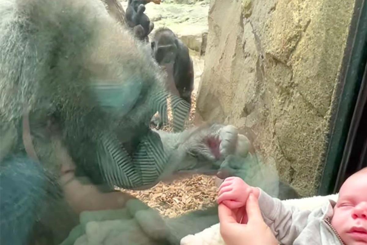 La gorilla Kiki mostra il suo bambino ad una mamma umana