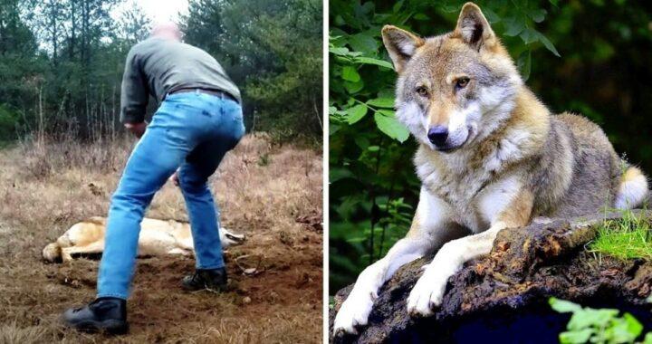 Uomo salva la vita ad una lupa e lei lo salva a sua volta molti anni dopo