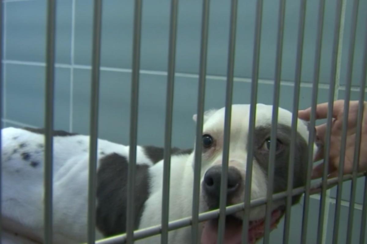 Grazie alla chiamata di un buon samaritano, un cucciolo di pitbull è stato salvato dai poliziotti