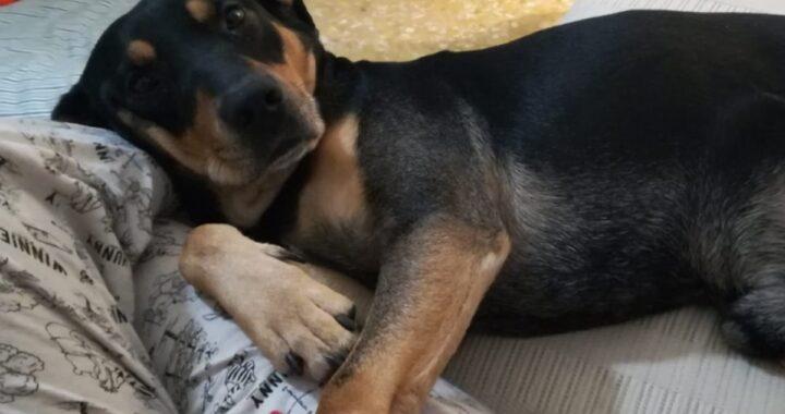 La nuova vita del cane Zorro: salvato dalle mani di un proprietario che lo picchiava perché era troppo vivace