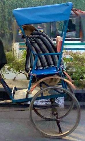 Cucciolo a bordo di un pedicab