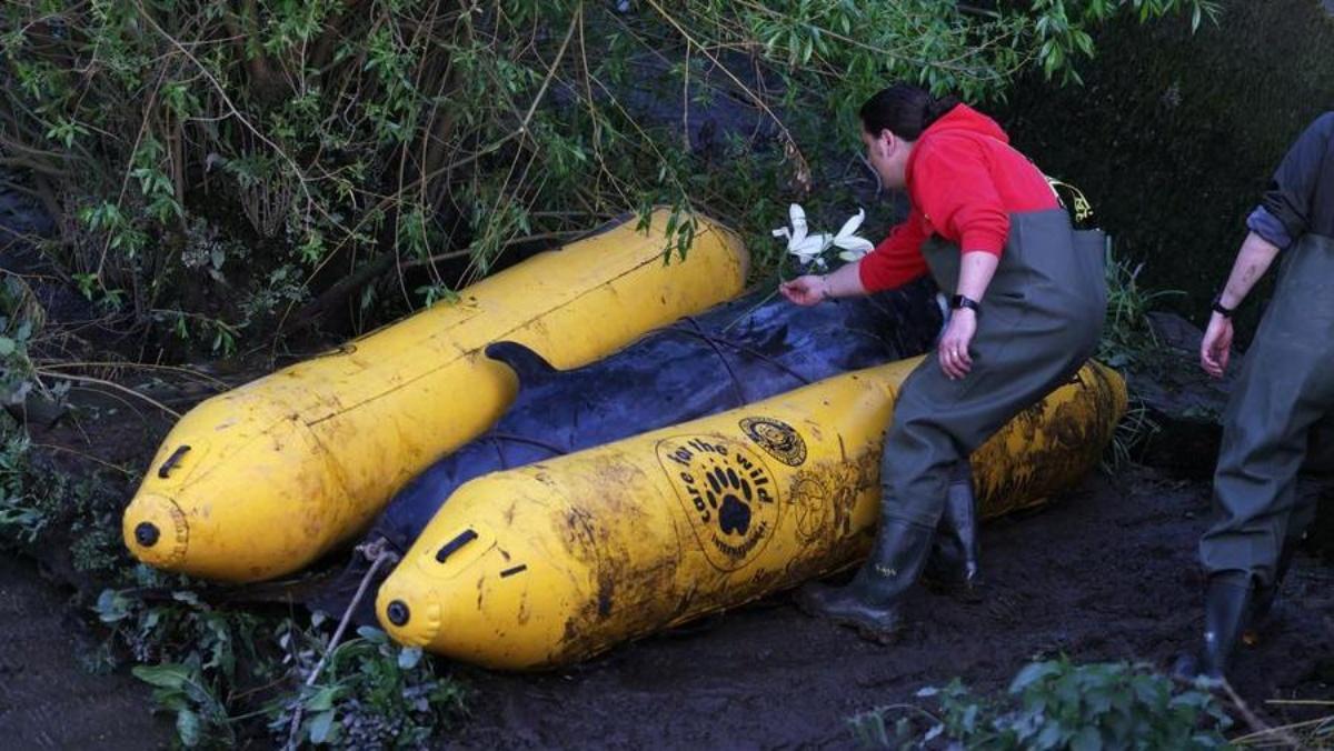 Abbattuto il cucciolo di balenottera nel Tamigi