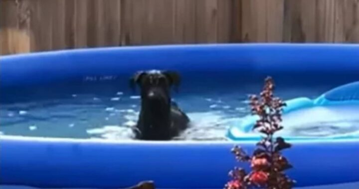 Cucciolo beccato dal proprietario mentre giocava in piscina. Guardate cosa fa quando si accorge di essere stato colto in flagrante