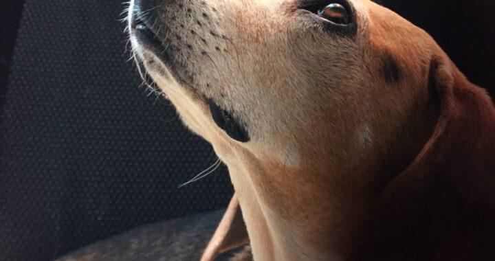 Cucciolo ha tentato di proteggere la proprietaria dal marito violento e ha ricevuto 4 coltellate