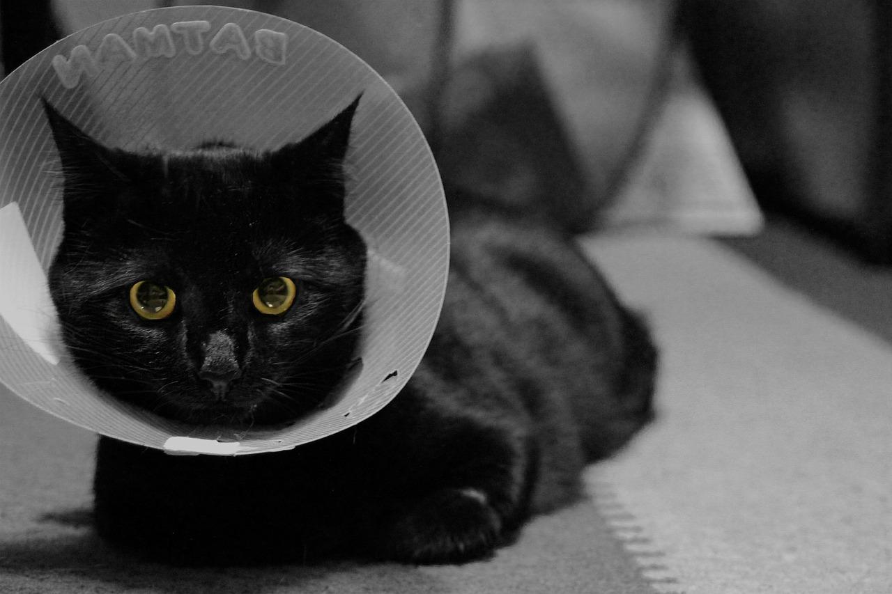 Gatto castrato in posa