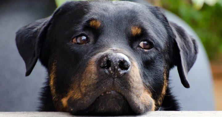 Rottweiler dice mamma per insegnarlo al neonato, il video è esilarante