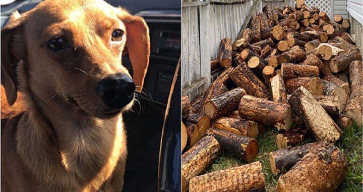 Trova il cane nascosto nella catasta di legna da ardere