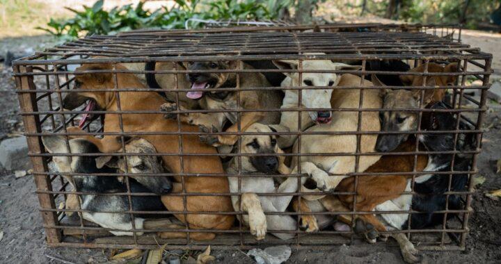 Volontari trovano un furgone con all'interno 61 cani: li stavano portando in un allevamento di carne di cane