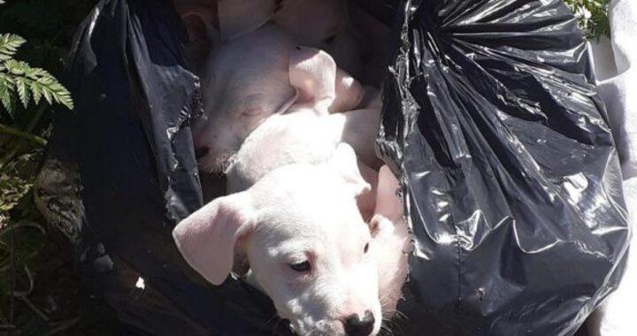 8 cuccioli di dogo abbandonati in un sacco della spazzatura: come stanno oggi