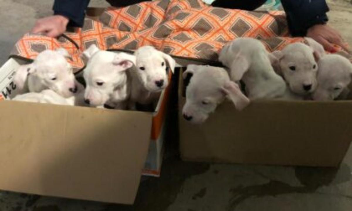 8 cuccioli di dogo abbandonati in un sacco della spazzatura