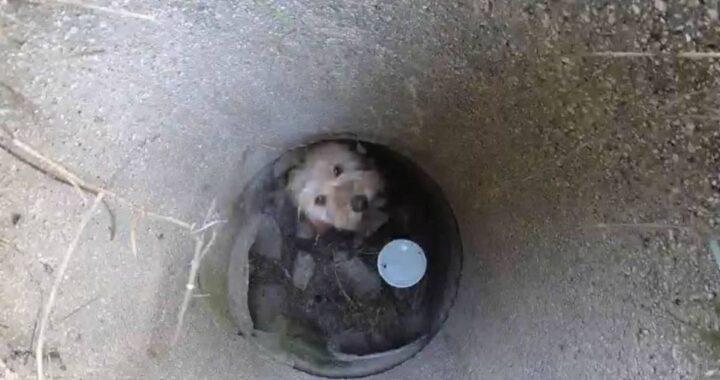 Cane gettato nella fogna guaiva disperato ed è stato sentito dagli spazzini
