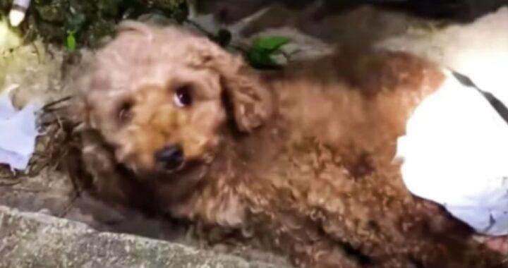 Trovata in un fosso con le zampe rotte, Cookie riesce a salvarsi