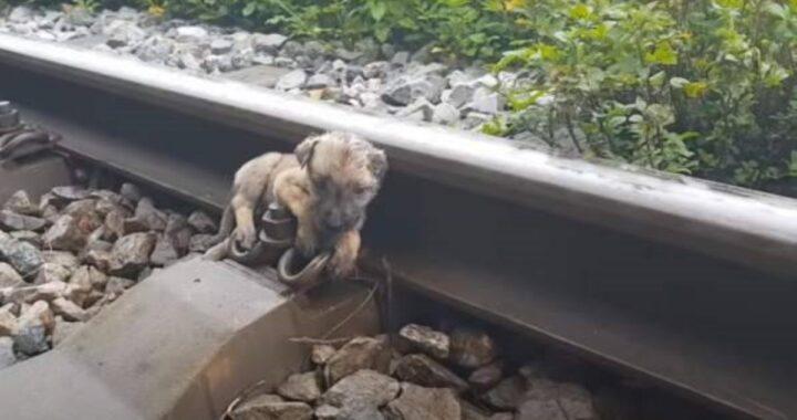 Cucciolo trovato abbandonato sui binari del treno: salvato in extremis