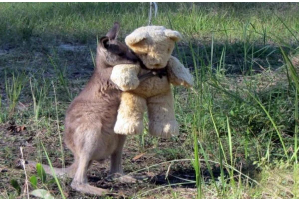 Il canguro Doodlebug abbraccia il suo orsacchiotto