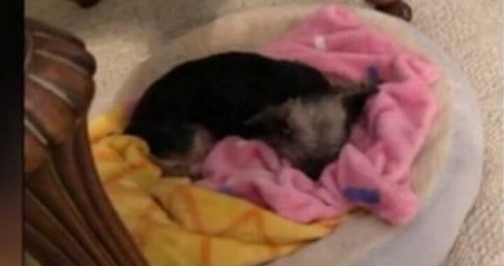 La storia della cagnolina Lacey, morta dopo la toelettatura: il racconto della famiglia