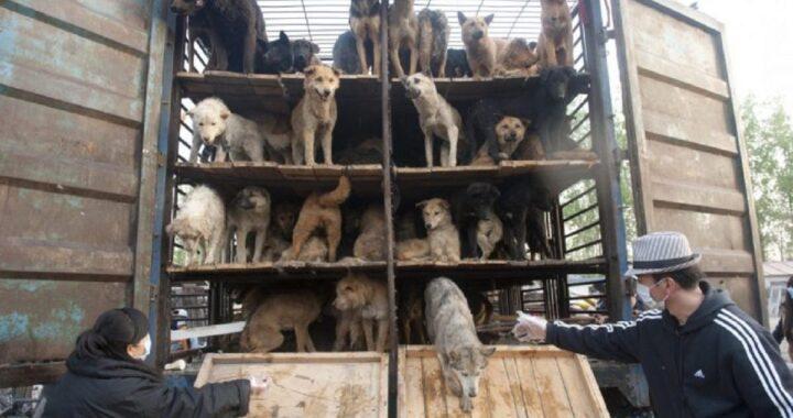 Festival della carne di cane del 2021, decine di animali salvati dalla morte