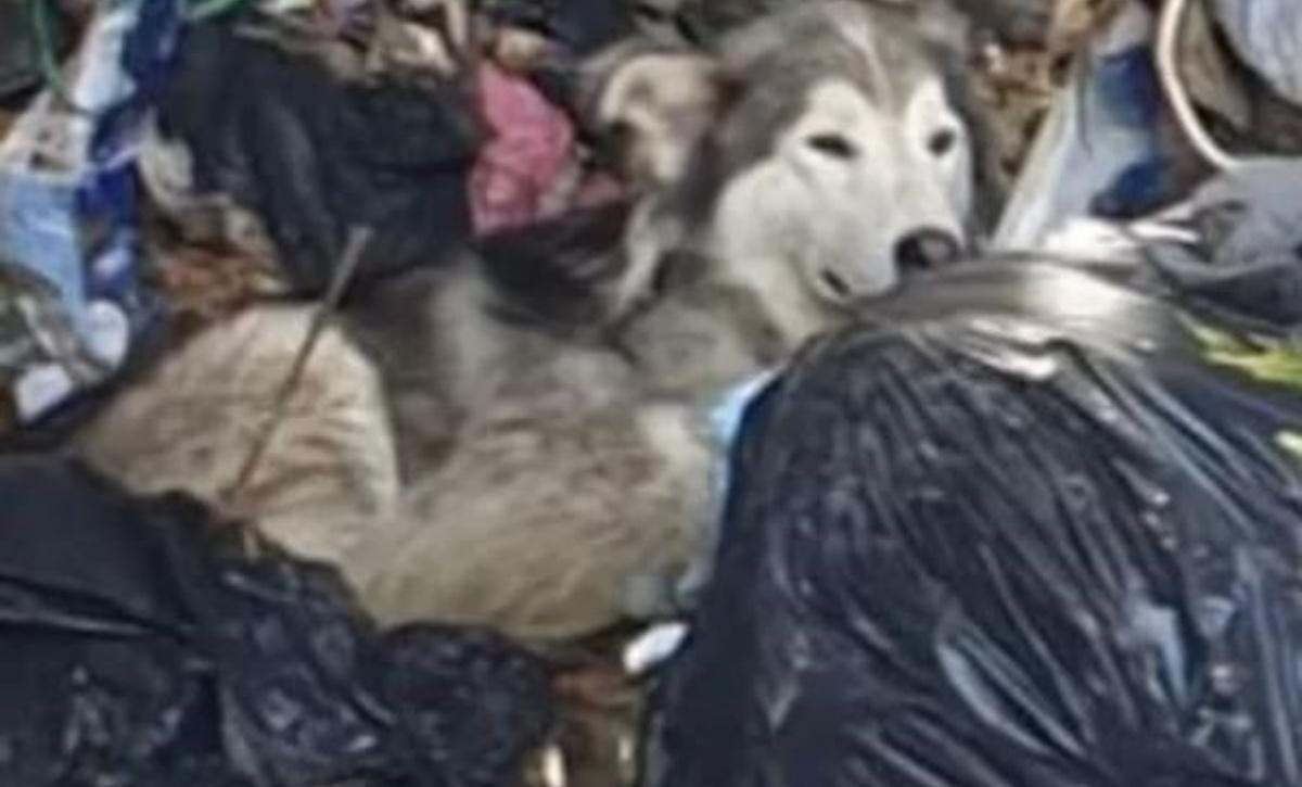Husky salvato in una discarica