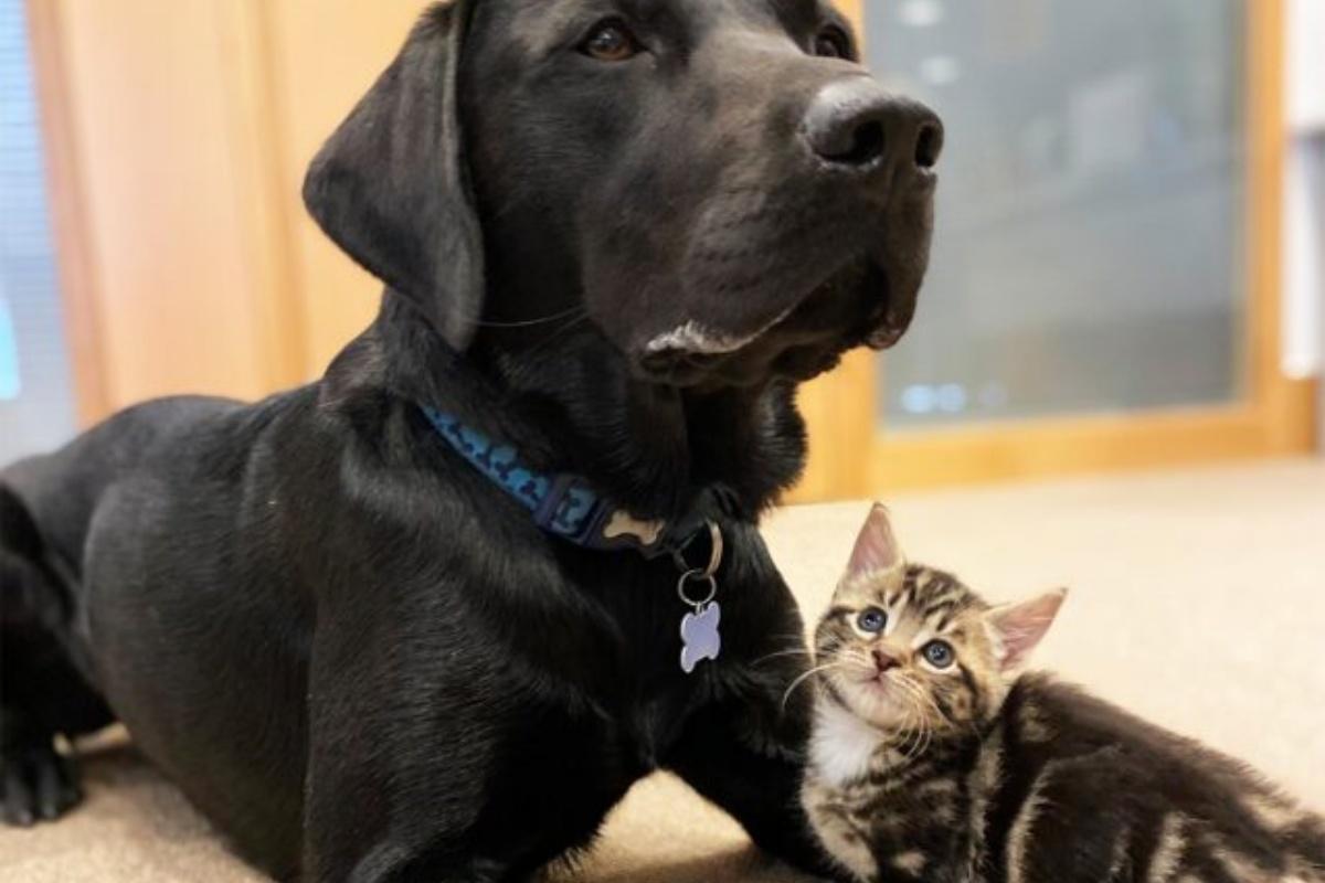 Bertie, il cagnolone amico dei gattini