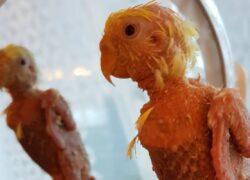 Il pappagallino Coco