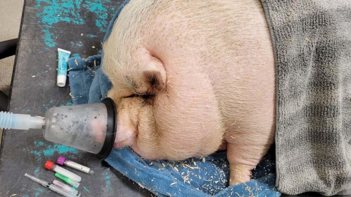 Il salvataggio del maiale obeso Cupcake