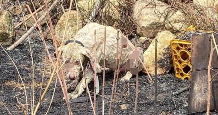 Incendi Sardegna: cane pastore non scappa di fronte alla fiamme e protegge il gregge