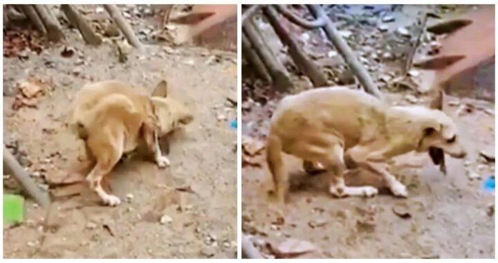 Dopo aver vissuto a lungo per strada, Kaew la cagnolina storpia viene finalmente salvata