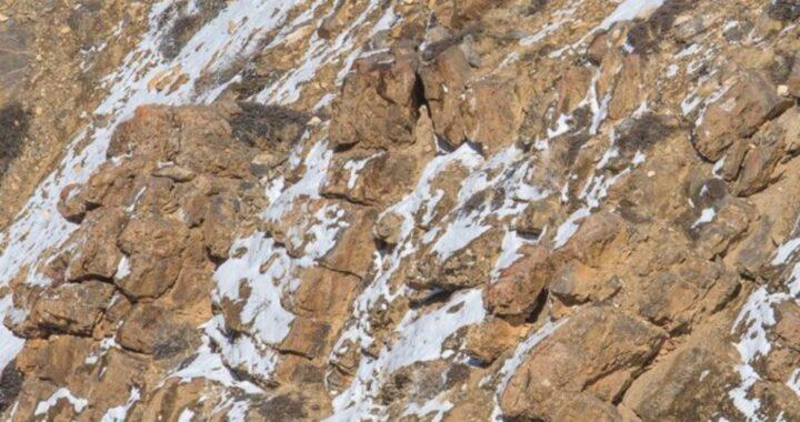 Trova il leopardo delle nevi: il grattacapo virale sul web