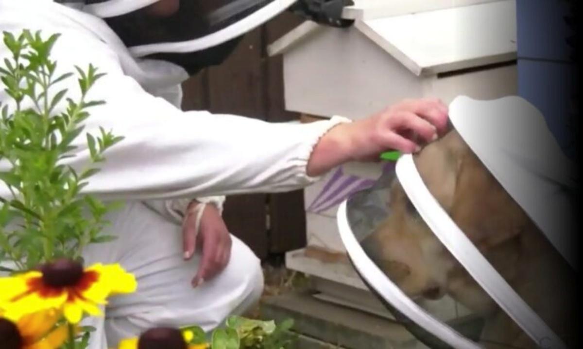 Il cane Moose vestito da apicoltore