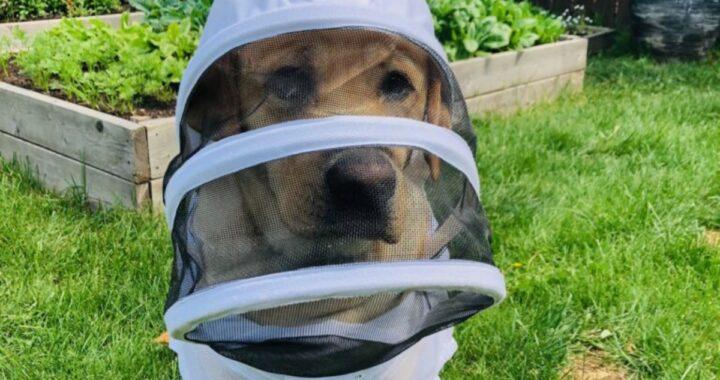 Moose, il cane apicoltore che ha fatto innamorare il web